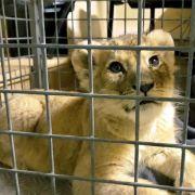 Löwenbaby in Luxusauto auf Pariser Prachtstraße entdeckt (Foto)