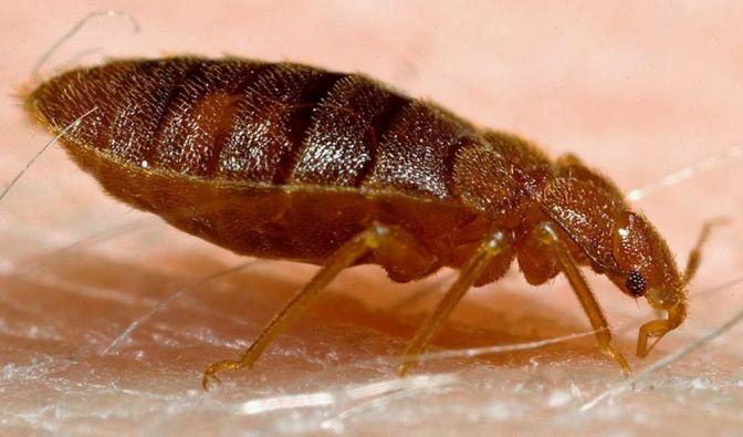 Eine seltene fleischfressende Wanze infizierte eine Engländerin mit nekrotisierender Fasziitis. (Symbolbild) (Foto)