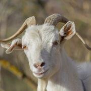 Mutierter Teufel? Ziege bringt Mischwesen zur Welt (Foto)