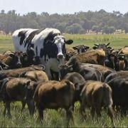 Kein Scherz! DIESES Rindvieh misst 1,93 Meter und wiegt 1,4 Tonnen (Foto)