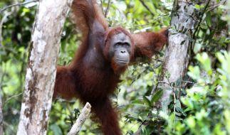Orang-Utan-Bordelle sind in Indonesien keine Seltenheit. (Foto)