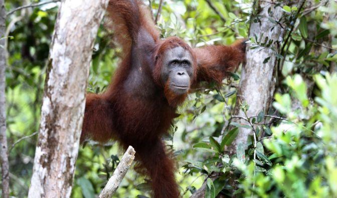 Tier-Schändung in Indonesien