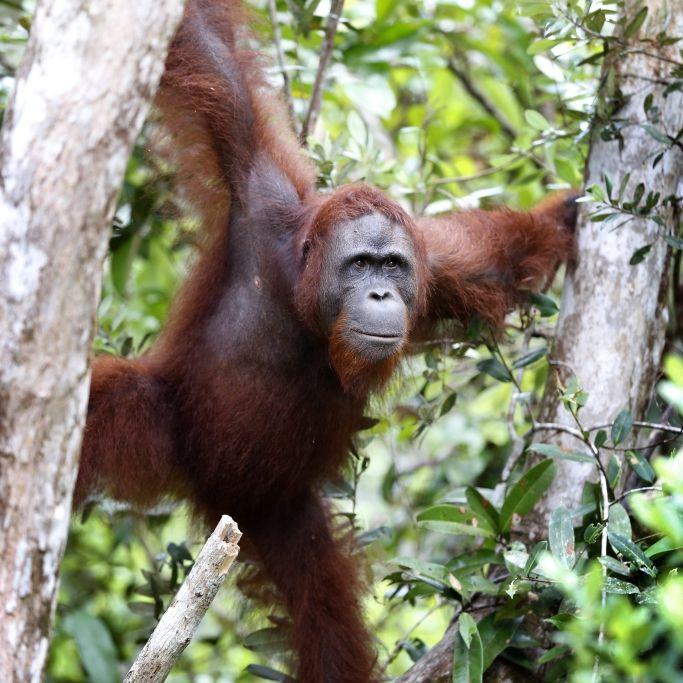 Abartige Qualen! Orang-Utan-Weibchen als Sexsklave missbraucht (Foto)