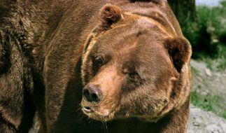 Bei einer Bärenattacke in Kanada wurde eine 37-jährige Frau und ihr zehn Monate altes Baby getötet (Symbolbild). (Foto)