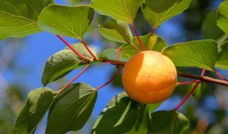 Die in Aprikosenkernen enthaltene Blausäure kann für Menschen tödlich sein (Symbolbild). (Foto)