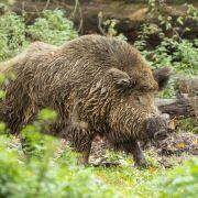 Aggressives Wildschwein verletzt Mann und Kleinkind (Foto)