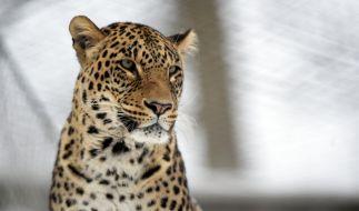 Ein Leopard soll in Indien einen dreijährigen Jungen verschleppt, geköpft und gefressen haben (Symbolbild). (Foto)