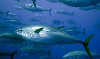An der Küste Schottlands wurde ein knapp zwei Meter langer Blauflossen-Thunfisch angespült (Symbolfoto). (Foto)