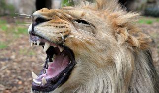 Ein ausgebüxter Löwe hat in einem Tierpark in den USA eine 22-jährige Frau zerfleischt (Symbolbild). (Foto)