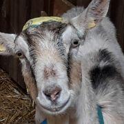 Mann (21) missbraucht Ziege - mit DIESER widerlichen Begründung (Foto)