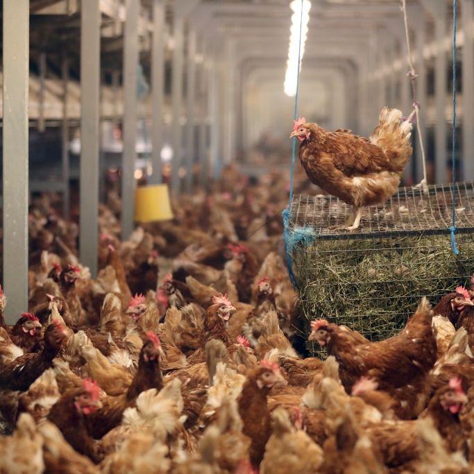 Durchfall-Keime in jedem 2. Supermarkt-Hähnchen! So schützen Sie sich (Foto)