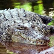 Horror-Unfall! Krokodil zerfleischt Forscherin (Foto)