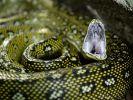 Ein Python wurde mit ungewöhnlichen Mitteln vom Verzehr eines Jungen abgehalten. (Symbolbild) (Foto)