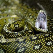 Schlangen-Angriff! DAMIT retteten Eltern ihren Sohn (Foto)