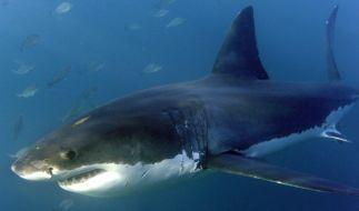 Vor Hawaii wurde ein gigantischer Weißer Hai gesichtet. (Foto)