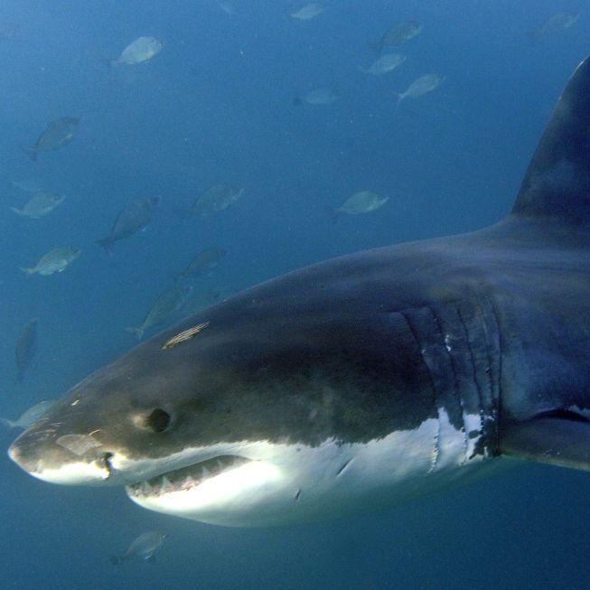 6-Meter-Koloss! Taucher posieren mit riesigem Weißen Hai (Foto)
