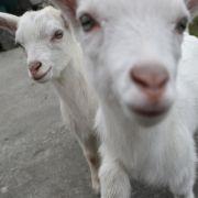 Mutanten-Ziege mit zwei Köpfen und vier Augen geboren (Foto)