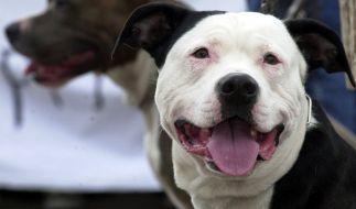 Ein Pitbull wurde Opfer eines abscheulichen Gang-Rituals. (Foto)