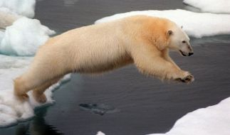 Zu viele Eisbären - deswegen haben die Behörden auf Nowaja Semlja den Notstand ausgerufen. (Foto)