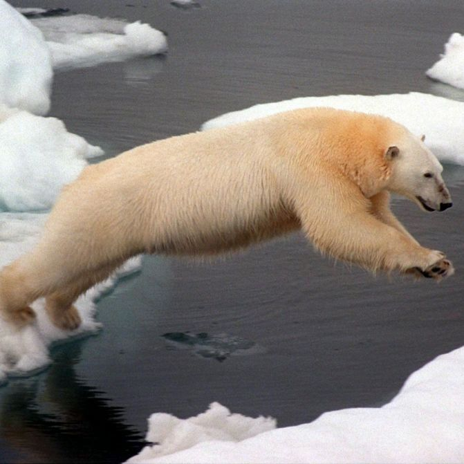 Notstand ausgerufen! Eisbären überfallen russisches Dorf (Foto)