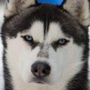 Im Hundekostüm! Mann (21) dreht Sex-Tape mit seinem Husky (Foto)