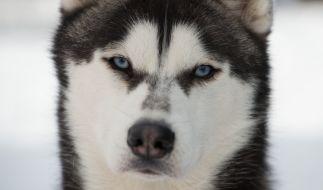 Ein Mann in den USA hat Sex-Filme mit seinem Husky gedreht. (Foto)