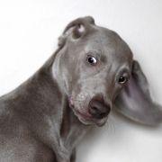 Verrückt! DIESER Hund hat ein zweites Maul anstelle eines Ohrs (Foto)