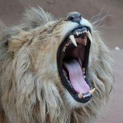 Brutale Folter! Zoo lässt Löwen Krallen abschneiden (Foto)