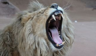 Einem Löwen wurden in einem Tierpark in Palästina die Krallen amputiert - die Raubkatze sollte gefahrlos mit Besuchern spielen (Symbolfoto). (Foto)