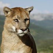 Verbissener Todeskampf! Jogger erwürgt Puma mit seinem Fuß! (Foto)
