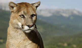 In Colorado hat ein Puma einen Jogger angegriffen. (Symbolbild) (Foto)
