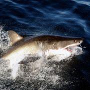 Blutiger Hai-Angriff! Surfer schwer verletzt (Foto)