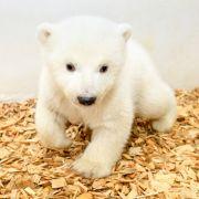 Der Baby-Eisbär im Berliner Tierpark hat einen Silberblick.