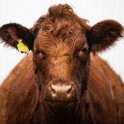 Frau von Rindern totgetrampelt - Familie bekommt Schadenersatz (Foto)