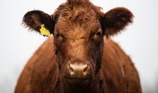 Aggressive Kühe wurden einer deutschen Urlauberin im Sommer 2014 zum Verhängnis. (Foto)