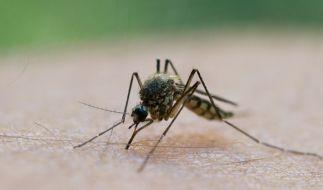 Eine Mücke saugt Blut aus dem Arm eines Mannes. (Foto)