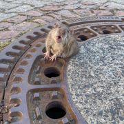 Dieser Ratte wurde ihr Winterspeck zum Verhängnis: Der Nager blieb in einem Gully stecken und musste gerettet werden.
