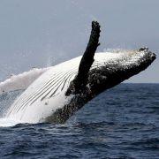 Was macht DIESER Wal mitten im Dschungel? (Foto)