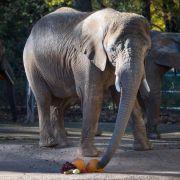 Elefant setzt sich auf ausgerutschten Tierpfleger - tot! (Foto)