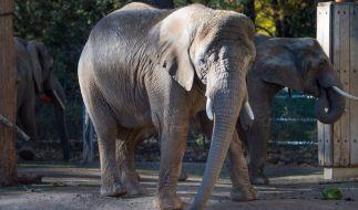 Ein tragischer Unfall mit einem Elefanten kostete einem Tierpfleger das Leben. (Foto)