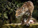 Eine Zoobesucherin wollte ein Selfie mit einem Jaguar und wurde dabei beinahe zerfleischt. (Foto)