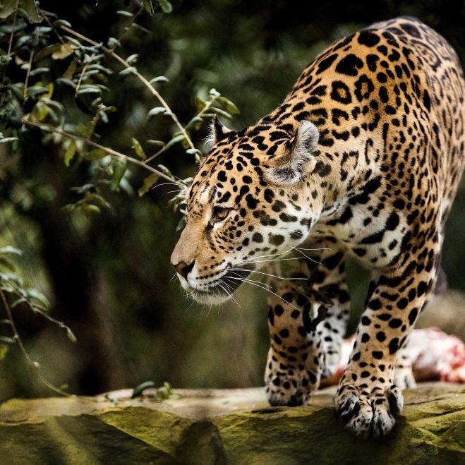 Sie wollte ein Selfie! Jaguar zerfleischt Frau in Zoo (Foto)