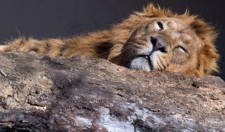 Ein Video einer feigen Löwenjagd sorgt im Netz für Aufregung (Symbolbild). (Foto)