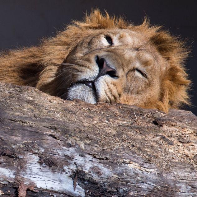 Grausam! Trophäen-Jäger erschießt schlafenden Löwen (Foto)