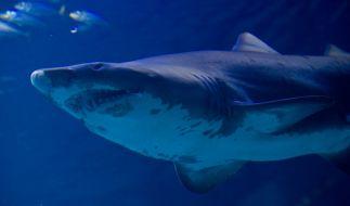 Ein Hai verletzte im Great Barrier Reef vor Australien einen 25-Jährigen schwer. (Foto)