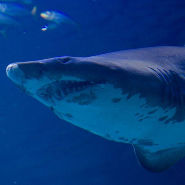 Blutiger Hai-Angriff! 25-Jähriger schwer verletzt (Foto)