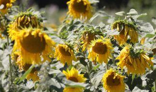 Heiße, von Dürre geprägte Sommer werden in Deutschland keine Seltenheit bleiben, wie Meteorologen warnen. (Foto)