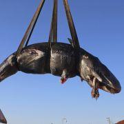 Toter Wal vor Sardinien hat 20 Kilo Plastik-Müll im Magen (Foto)