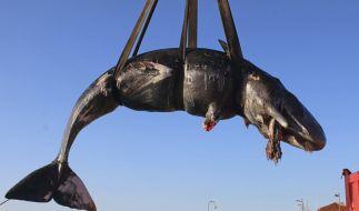 Vor Sardinien wurde ein verendeter Pottwal gefunden. In seinem Magen: 20 Kilogramm Plastik-Müll. (Foto)