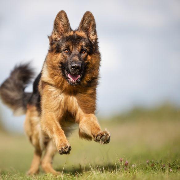 Hund attackiert Kinder auf Spielplatz - Polizei schießt (Foto)